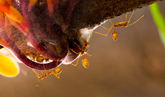 Weaver Ants (matt_tsim) Tags: india macro closeup insects ants santiniketan