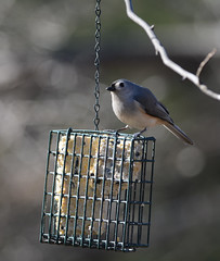 "Titmouse by Sue • <a style=""font-size:0.8em;"" href=""http://www.flickr.com/photos/75865141@N03/16813776728/"" target=""_blank"">View on Flickr</a>"