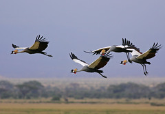 Grey Crowned Cranes in flight (Rainbirder) Tags: amboseli keny greycrownedcrane balearicaregulorum balearicaregulorumgibbericeps eastafricangreycrownedcrane rainbirder