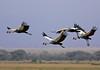 Grey Crowned Cranes in flight (Rainbirder) Tags: amboseli keny greycrownedcrane balearicaregulorum balearicaregulorumgibbericeps eastafricangreycrownedcrane rainbirder