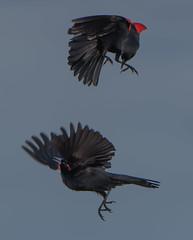 Victor Emerges (Bonnie Ott) Tags: redwingedblackbird blackbird fight fighting birdsfighting territorialdispute agelaiusphoeniceus bonniecoatesott savagequad