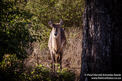 Waterbuck In Chobe National Park, Botswana