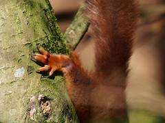 Speed racer (M4123387 E-M5 210mm iso200 f4 1_640s -0.3ev) (Mel Stephens) Tags: 20150412 201504 2015 carnie woods aberdeenshire scotland uk wildlife red squirrel squirrels olympus omd microfourthirds mirrorless 40150mm pro mc14 em5 mzuiko m43 f28 28 q2 animals animal