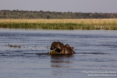 Hippo In Chobe National Park, Botswana