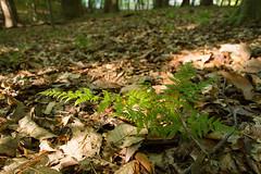 Anglų lietuvių žodynas. Žodis woodfern reiškia <li>woodfern</li> lietuviškai.