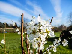 2015_022 (casirfm) Tags: primavera march nikon coolpix bloom fiori brianza marzo springtime 2015 s9600 casirfm