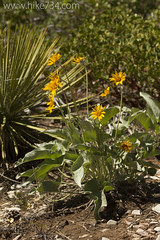"Arrowleaf Balsamroot • <a style=""font-size:0.8em;"" href=""http://www.flickr.com/photos/63501323@N07/17033536661/"" target=""_blank"">View on Flickr</a>"
