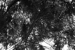 toothpicks tree (Rodrigo Alceu Baliza) Tags: bw tree 50mm toothpick