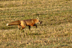 Morning stroll (d315thedeity) Tags: life red wild nature field animal photography spring wildlife fox redfox