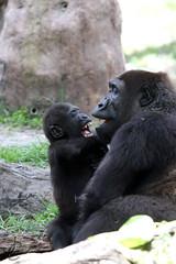 Busch Gardens: Enzi & Pele (Western Lowland Gorilla) (Jasmine'sCamera) Tags: baby tampa gorilla mother buschgardens busch westernlowlandgorilla