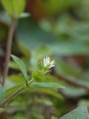 ミミナグサ (nofrills) Tags: white green weeds weed tiny roadside whiteflowers whiteandgreen ミミナグサ