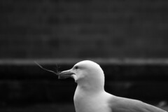 bless our nest! (Jose Quental) Tags: life city our wild blackandwhite nature nest outdoor wildlife seagull norfolk bless