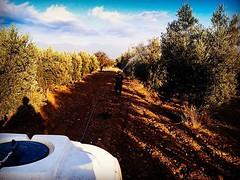#aydin #karacasu #ataeymir #olive #olivetree #tree #trees (experien) Tags: trees tree olive olivetree aydin karacasu uploaded:by=flickstagram ataeymir instagram:photo=1201638816724432613254222956 instagram:venuename=ataeymir2ckaracasu instagram:venue=929130594