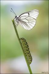 Uno para dos (Toni_pb) Tags: caterpillar macromondays anythinggoes tonipou macro mariposa macrofotografa macroambiente macrophotography butterfly bokeh blanca macaon oruga outdoor nature nikon naturaleza d810 nikkor105mmf28 majuelo blancadelmajuelo orugamacaon