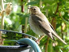 Hermit Thrush up close (got2snap) Tags: bird backyard hermit thrush