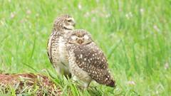 two little owls
