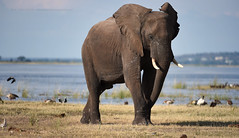 big father on the move (Jose Antonio Pascoalinho) Tags: africa wild elephant nature animals outdoor wildlife biosphere nat bull safari botswana wilderness chobe biodiversity bigfive paquiderme boatsafari safariphotography zedith