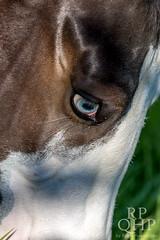 999A3831 (RPQHP) Tags: horses horse spring weide natur western quarter pferde pferd quarterhorse