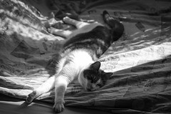 Resting cat (Dino Barsic) Tags: light bw sun white black monochrome animal cat canon bed afternoon lazy stretching 600d
