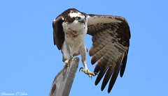 A wing and a prayer (Shannon Rose O'Shea) Tags: california bird nature canon wings flickr sandiego wildlife beak feathers bluesky raptor claws osprey shelterisland talons canon100400mm14556lis t6i shannonroseoshea wwwflickrcomphotosshannonroseoshea canonrebelt6i canoneost6i canont6i eost6i canoneosrebelt6i shannonosheawildlifephotography rebelt6i shannonoshea eosrebelt6i
