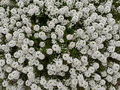 Alyssum (V@n) Tags: flowers white alyssum