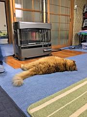 Nobuo Discovers the Stove (sjrankin) Tags: animal japan cat hokkaido edited warmth stove hdr nobuo yubari 17may2016