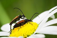 Stenurella melanura (Linnaeus, 1758) - black-striped longhorn beetle in copula (axel.becker73) Tags: insect beetle jena mating longhorn insekt kleiner kfer coleoptera copula melanura stenurella schmalbock bockkker