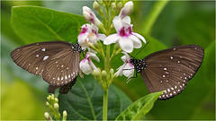 Common Crow or Oleander Butterfly (Foto Martien) Tags: park bali brown india black flower colour macro beautiful butterfly garden insect sumatra java colorfull symmetry papillon borneo queensland tropical bloom myanmar srilanka honfleur tuin roadside riverbank mariposa coloured zwart normandy sulawesi bangladesh mimicry schmetterling vlinder bruin kleurrijk macrophoto southasia butterflyhouse kleuren tropicalrainforest polychrome symmetrie normandi tropisch veelkleurig macrofoto kleurig commoncrow northaustralia macroopname eastaustralia naturospace commonindiancrow subfamilydanainae euploeacore malaypeninsula australiancrow a550 jardindespapillons oleanderbutterfly crowsandtigers indoorbutterflygarden southpakistan tropischregenwoud martienuiterweerd minoltamacro100mm28 sonyalpha550 fotomartien jardindunaturospace serretropicalepapillons overdektevlindertuin oleandervlinder