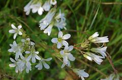 Thse-la-Romaine (Loir-et-Cher) (sybarite48) Tags: plant france flower planta fleur plante flor pflanze  blume fiore planten  bloem pianta iek loiretcher saxifraga  saxifrage kwiat bitki     thselaromaine rolina a