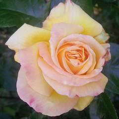 I colori della primavera (Luciana.Luciana) Tags: flowers primavera spring colours rosa giallo fiori colori printemps frhling