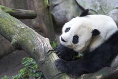 Happy Fathers Day Gao Gao! (Rita Petita) Tags: china california panda sandiego giantpanda sandiegozoo gaogao specanimal