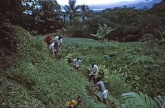 Grass cutting in a Fijian village, Feb  1964 (D70) Tags: tree men grass fiji village coconut near suva banana palm 25 cutting feb 1964 fijian mahcete