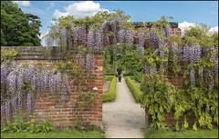 Calke Abbey Wisteria (Darwinsgift) Tags: abbey zeiss 35mm garden derbyshire national carl trust f2 wisteria gardener walled distagon calke zf2