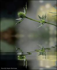Riflesso (celestino2011) Tags: riflesso natura verde fiore
