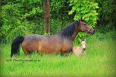 Princesse & Gucci (PhotOw'graphie) Tags: horse nature animal cheval vert animaux extrieur herbe chevaux foal poulain