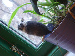The photos I got of Perry. (TheDollLover) Tags: gerbil rodent pet perry