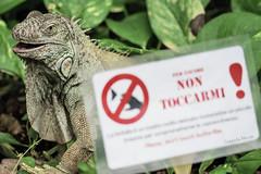 iguana (nnicolo) Tags: reptile natura iguana lucertola rettile