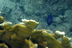 Yellowtail Damselfish (sarowen) Tags: fish underwater snorkeling vieques bluefish underwatercamera puntaarenas underwaterphotography damselfish firecoral underwaterphoto greenbeach isladevieques yellowtaildamselfish viequespr viequespuertorico playapuntaarenas viequesisland islanena