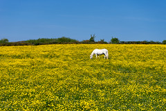 Butter Cups (Neo7Geo) Tags: horses horse scotland glasgow sony rico a7 buttercups ricorodriguez neo7geo