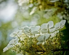 Dance (Sun Dogs & Daylilies) Tags: light sun flower nature outdoors lumix prime bokeh panasonic 45mm oakleafhydrangea gx8 mft panasoniclumix microfourthirds dmcgx8