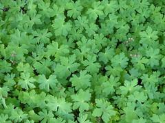 Lisle, IL, Morton Arboretum, Geranium (?) Foliage (Mary Warren (7.0+ Million Views)) Tags: plants green nature leaves flora pattern foliage mortonarboretum lisleil