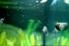 edit (5) (krenzphotography) Tags: life pets fish animals mystery aquarium tank goldfish snail molly tetra aquatic dalmatian freshwater longskirt