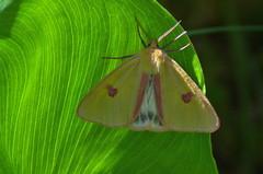 Aasakaruslane; Diacrisia sannio; Clouded Buff (urmas ojango) Tags: lepidoptera liblikalised insecta putukad insects moth erebidae arctiinae nationalmothweek aasakaruslane diacrisiasannio cloudedbuff diacrisia ebaöölased