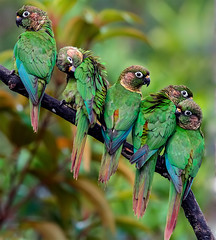 NE Brazil: Maroon-bellied Parakeets (spiderhunters) Tags: brazil bird parrot bahia mataatlantica rainfores atlanticrainforest pyrrhurafrontalis maroonbelliedparakeet neotropics serrabonita
