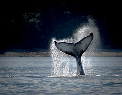 Baby Humpback Whale (valerie.toalson) Tags: juneau alaska humpback whale wildlife