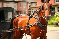 IMG_3753 (joyannmadd) Tags: amish horses intercourse pennsylvania kitchenkettlevillage farm animals lancaster coumty pa farms nature outdoors