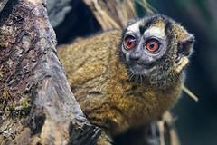 Brown owl monkey (Tambako the Jaguar) Tags: portrait brownowlmonkey bigeyes monkey primate tree branch brown walter zoo gossau stgallen switzerland nikon d5