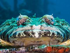 Crocodilefish(1) (altsaint) Tags: fish redsea egypt panasonic 45mm hurghada crocodilefish gf1