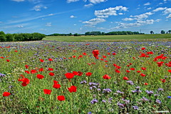 Blumenwiese (garzer06) Tags: blumenwiese blumen wiese kornblumen mohnblumen rot blau grün weis deutschland inselrügen mecklenburgvorpommern insel landschaftsbild rügen landschaftsfoto natur naturephotography wolken himmel wolkenhimmel landschaftsfotografie landscapephotography naturfotografie vorpommern
