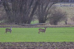 Looking (G_Howold) Tags: trees green 20d nature field animal canon germany colours looking wildlife deer tele dslr mainz ried